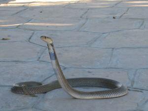 Konge Cobra i Thailand