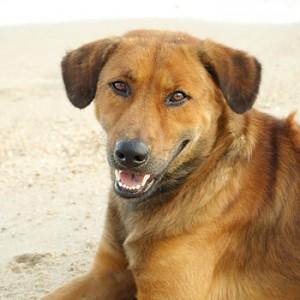 Hunde i Nordthailand kan være smittede