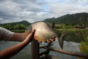 piranha fisk fra Pai