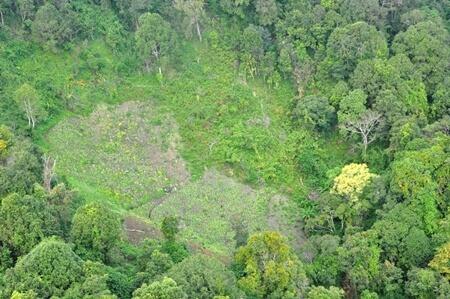8 hektar stor opium plantage fundet i Chiang Mai
