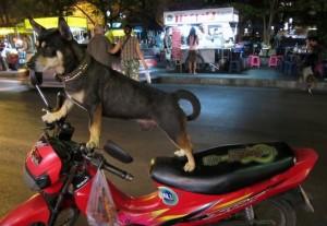 hund på bike i chiang mai