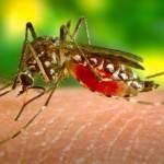 dengue myg