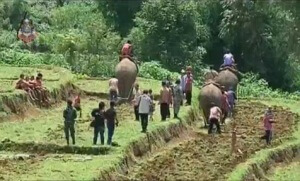 elefanter pløjer rismarker