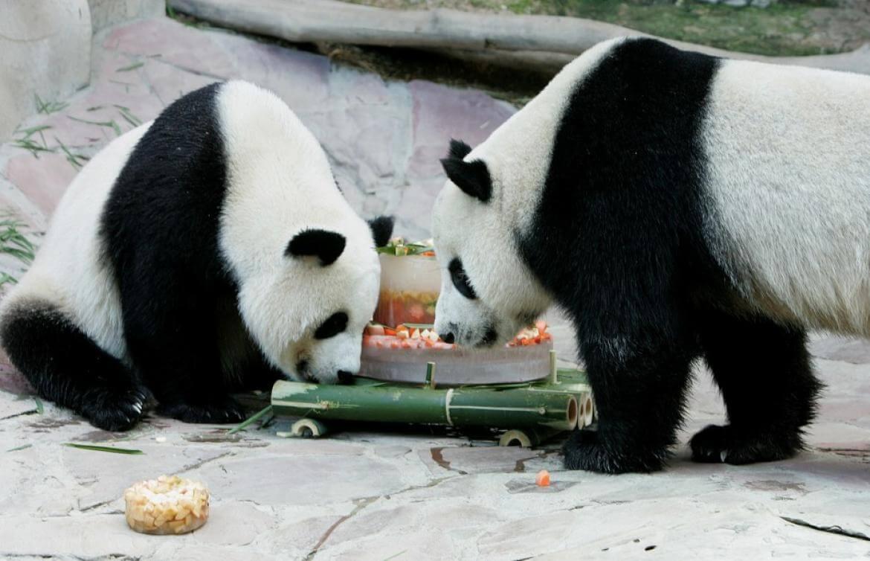 Bliv panda passer i 2 dage