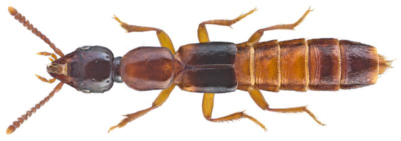 Rovbiller Thailand – rødlig udslæt efter kontakt med insekt